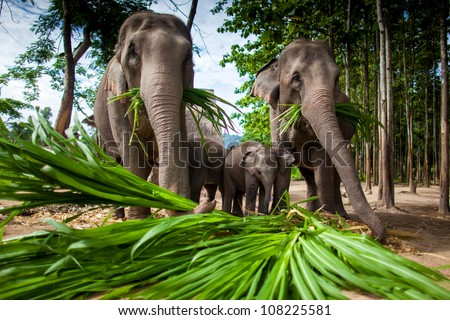 Chiang Mai, THAILAND  - June 16, 2012: Group of elephants playing, eating sugar cane with their herd. - stock photo