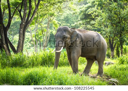 Chiang Mai, THAILAND - June 14, 2012: Mature male bull elephant with long tusks stands in the middle of the forest in the jungle of Chiang Mai. There are many conservation park in Chiang Mai. - stock photo