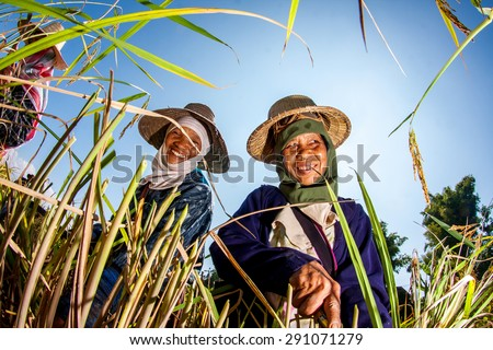 CHIANG MAI, THAILAND, NOVEMBER 17: The unidentified farmers harvesting rice from terraced rice field on November 17, 2010 in Chiang Mai, Thailand. - stock photo