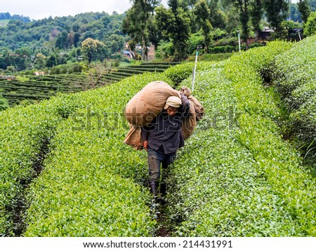 CHIANG RAI AUG 10: Workers cultivate Oolong tea at tea plantation located on Santikhiri village Chiangrai, Thailand on August 10th, 2014. The village is recognized as fine oolong tea plantation area. - stock photo