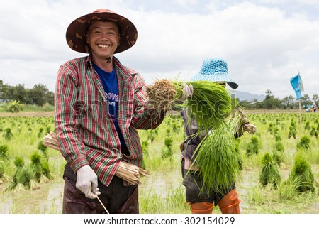 CHIANG RAI, THAILAND-JULY 2:Unidentified farmers harvest rice sprout from a field on July 2,2015 in Chiang rai Thailand. - stock photo