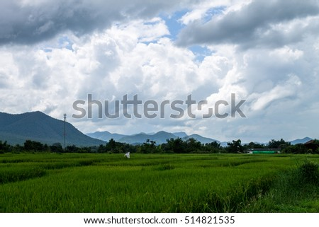ChiangMai, Thailand. October, 17-2016: The rice fields in the countryside of Chiang Mai province are standing for harvest.