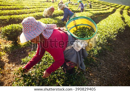 Chiangrai, Thailand - December, 21 , 2013 : Workers pick tea leaves by hand in the morning.