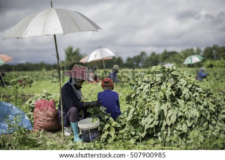 chiangRai, Thailand - November 30: Thailand farmers harvesting soybeans.on the ground on November 28, 2015 in chiangRai, Thailand.