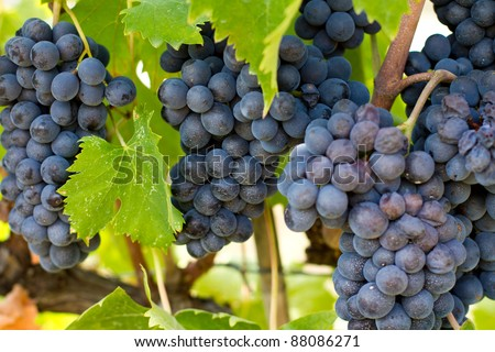 Chianti Grape Clusters - stock photo