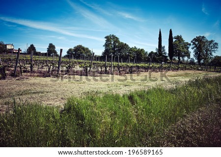 Chianti vineyard with Cypress trees