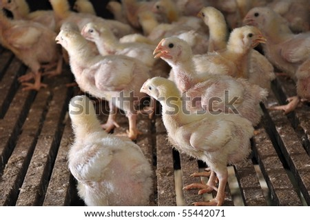 Chic in a poultry farm.