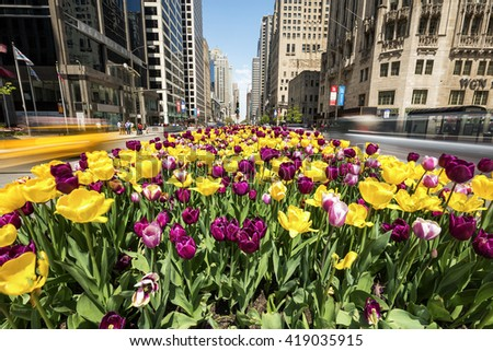 CHICAGO, IL - 6 MAY: Tulips bloom along Michigan Avenue in downtown Chicago.  - stock photo