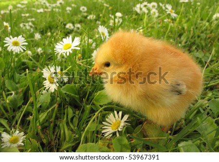 Chick and daisy field - stock photo