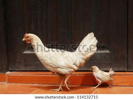 Chick and hen with wood wall - stock photo