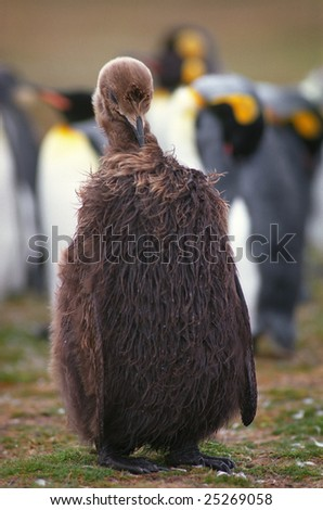 Chick emperor penguin in sunny summer day - stock photo