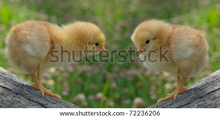 chick on a green background - stock photo