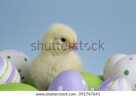 Chick on eggs  - stock photo