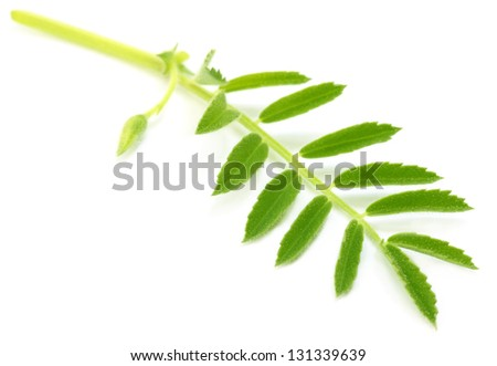 Chick-pea leaves over white backgrokund - stock photo