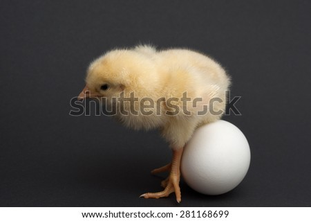 chick sitting on eggs. isolated on black background - stock photo