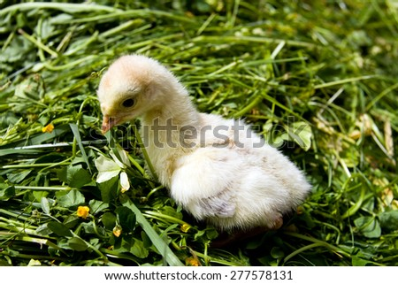 chick turkey - stock photo