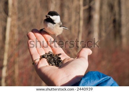 Chickadee eating seed from the palm of a hand - stock photo