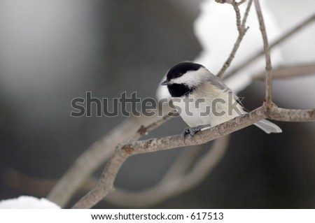 Chickadee in a tree - stock photo