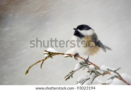Chickadee perched on a cedar branch in the winter during a snowstorm. - stock photo