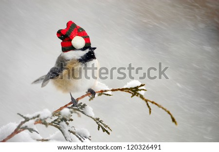 Chickadee perched on a cedar branch with his Christmas hat on in the winter during a snowstorm. - stock photo