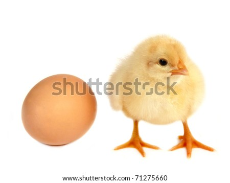 Chicken and egg isolated on white background
