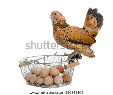 chicken and eggs over white  - stock photo