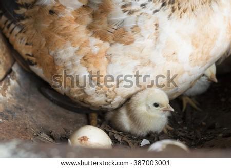 chicken and her children - stock photo