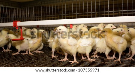 Chicken broilers. Poultry farm - stock photo