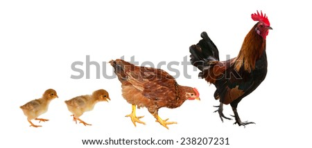 chicken family isolated on white background - stock photo