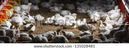 chicken farm with feed for meat, no avian influenza
