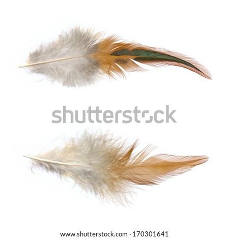 chicken feather on a white background.