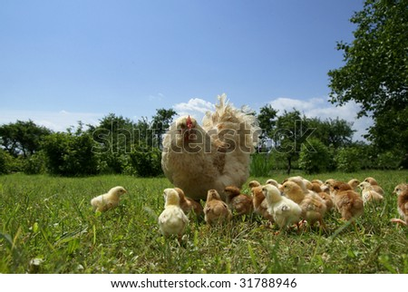 Chicken feed their young chicks - stock photo