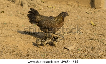 chicken hen and chicks looking for food - stock photo
