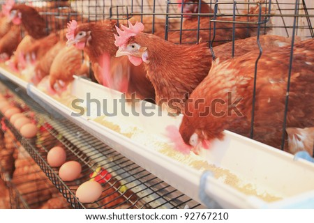 chicken hens eggs in farm - stock photo