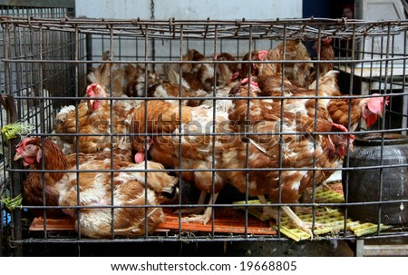 chicken in a cage - stock photo