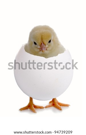 Chicken in a shell on a head isolated on a white background - stock photo