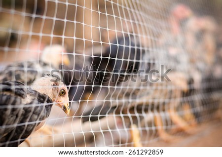 Chicken in cage,poultry farm - stock photo