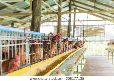 chicken in the farm - stock photo
