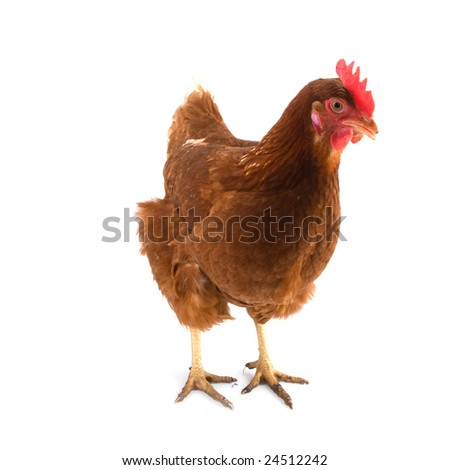chicken Isa Brown isolated over white - stock photo