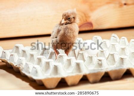 Chicken of a rooster in a paper tray for egg on a wooden background, a chicken with egg. - stock photo