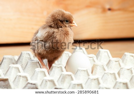 Chicken of a rooster in a paper tray for egg on a wooden table, nobody. - stock photo