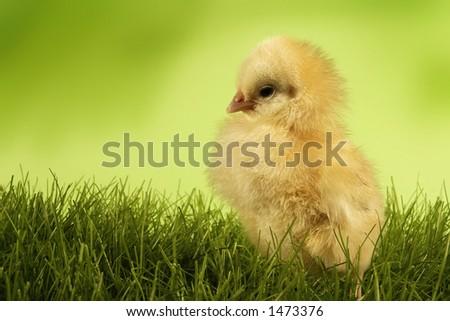 Chicken on grass - stock photo