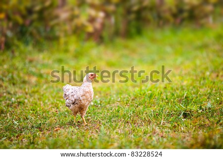 Chicken outdoor on a green meadow - stock photo