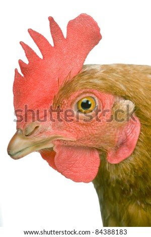 chicken portrait (Shaver 579 hybrid laying breed)