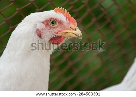 Chicken's head