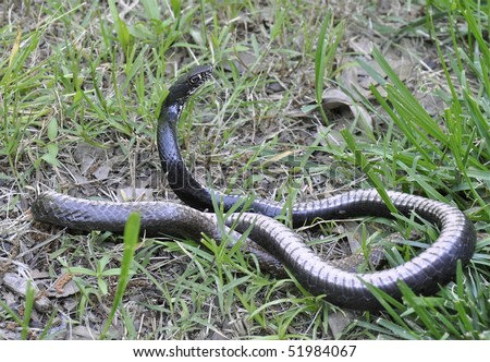 Black chicken snake Stock Photos, Images, & Pictures ...