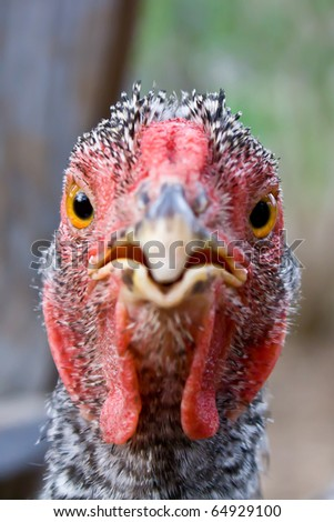 chicken stares right into the viewers face ready to peck - stock photo