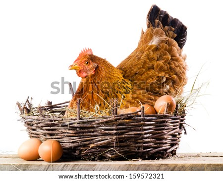 Chicken with eggs isolated on white - stock photo