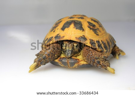Chickened out tortoise