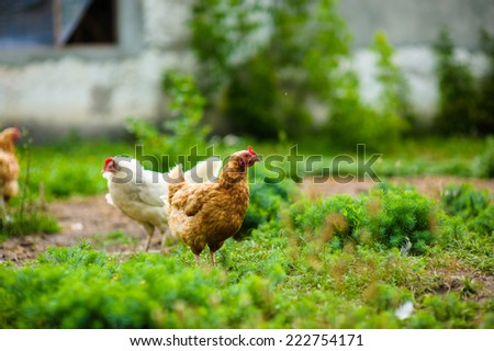 chickens - stock photo